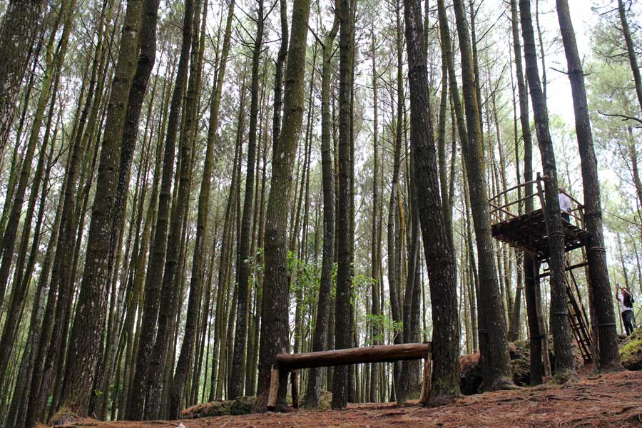 Hutan-Pinus-mangunan-imogiri